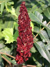 Sumak - kwiat