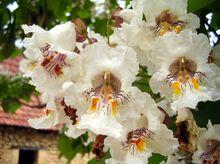 Surmia (Katalpa) - kwiaty