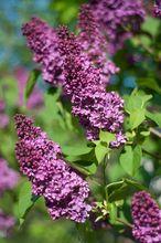 Lilak pospolity - kwiaty