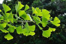 Miłorząb japoński - liście