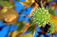 Owoc ambrowca amerykańskiego