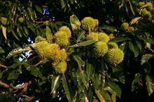 Owoce kasztana jadalnego
