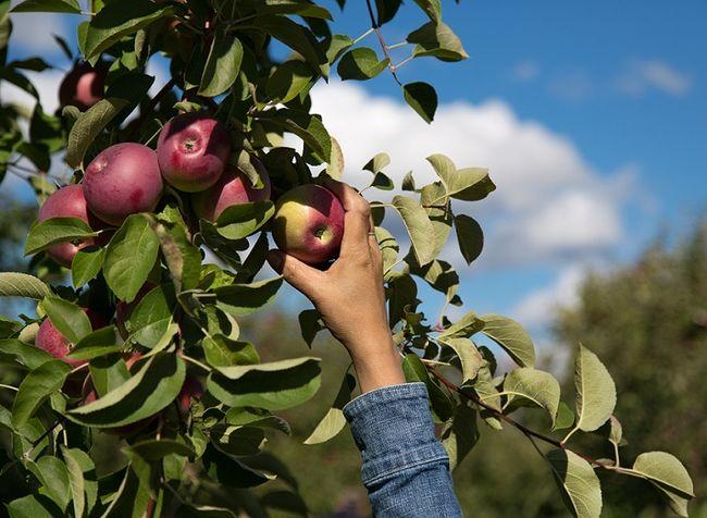 Jabłoń odmiany Cortland