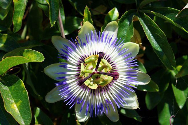 Męczennica błękitna, passiflora, kwiat męki pańskiej