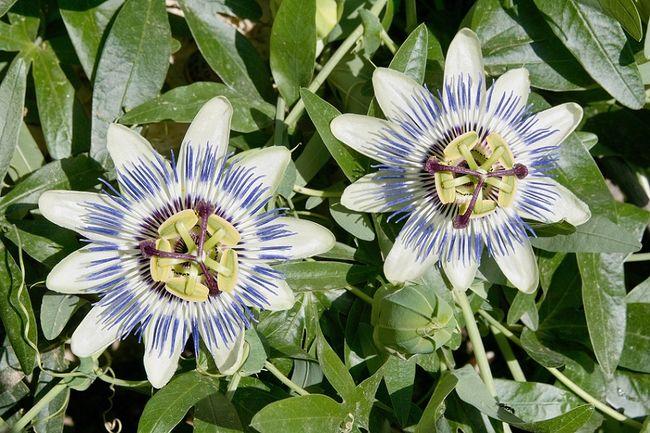 Męczennica błękitna (passiflora, kwiat męki pańskiej)