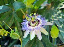Męczennica błękitna - kwiat