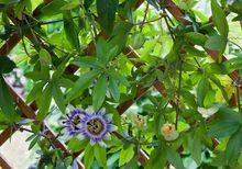 Męczennica błękitna - pnącze