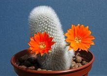 Kaktus - Aylostera