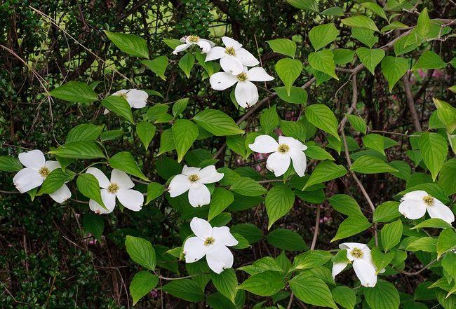 Dereń kwiecisty (Cornus florida)