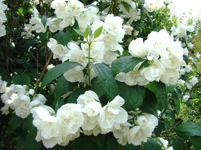 Jaśminowiec - kwiaty