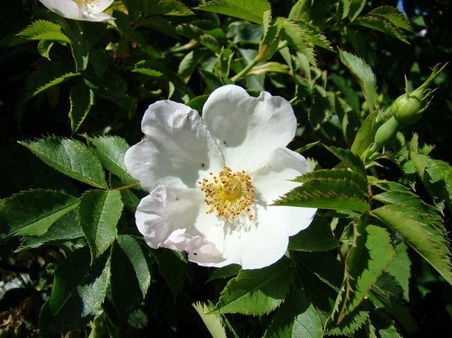 Kwiat róży