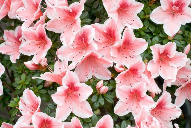 Kwitnące azalie