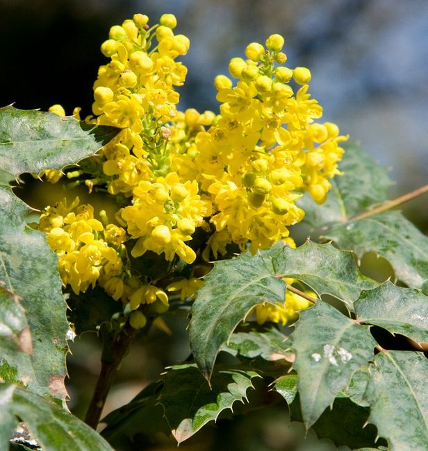 Mahonia - kwiaty