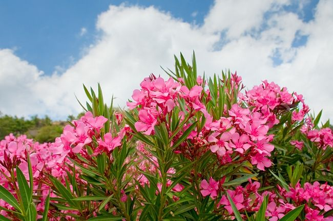 Różowy Oleander