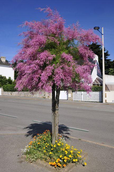 Tamaryszek w formie drzewa