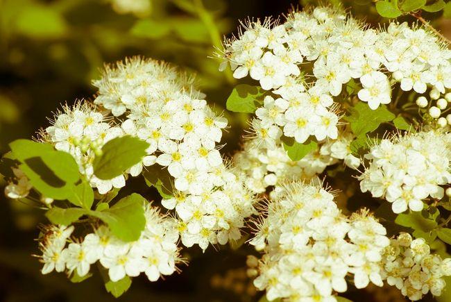 Tawuła brzozolistna