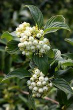 Dereń biały - owoce