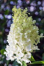 Kwiat hortensji bukietowej