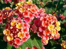 Kwiat Lantany