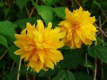 Kwitnący złotlin japoński
