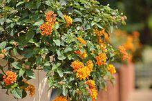 Lantana - krzew