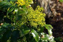 Mahonia - krzew