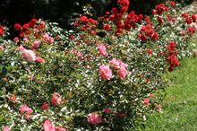 Uprawa róży