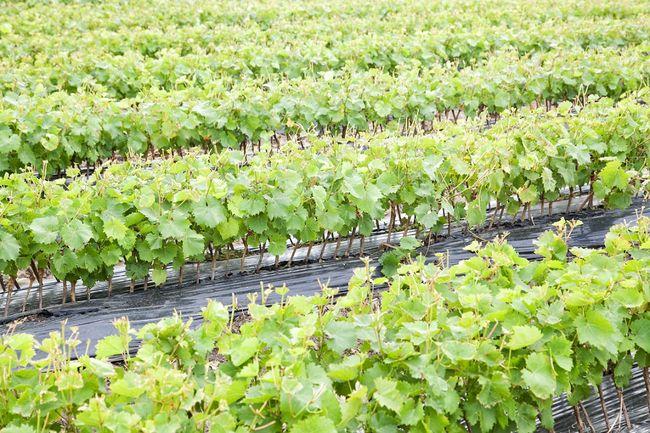 Rozmnażanie winogron