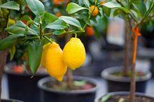 Owocujące cytryny w doniczkach