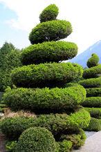 Iglak w przyciętny na kształt spiralny