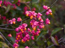 Trzmielina pospolita - owoce