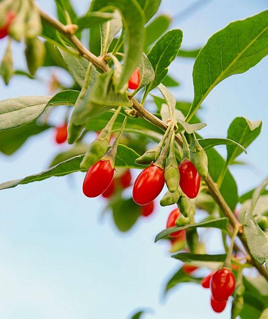 Kolcowój - liście i owoce