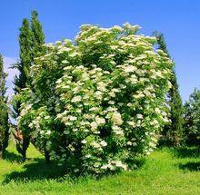Bez czarny w okresie kwitnienia