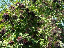 Owoce bzu czarnego