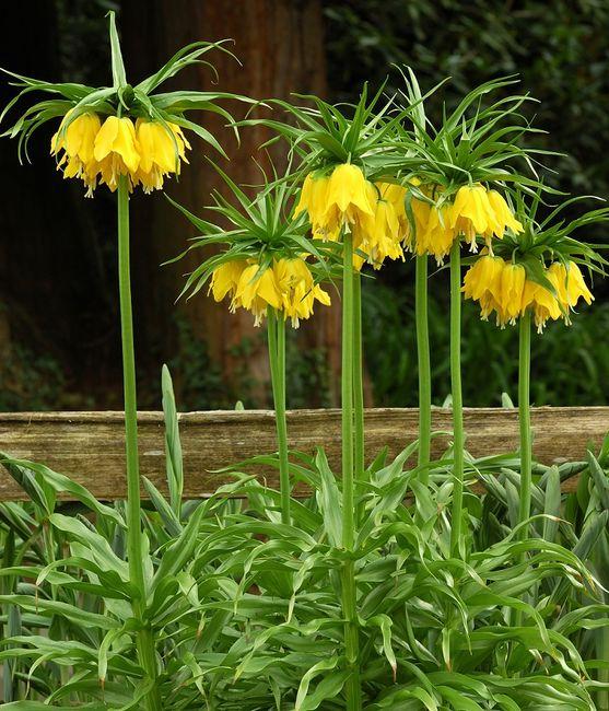 Korona cesarska w kolorze żółtym