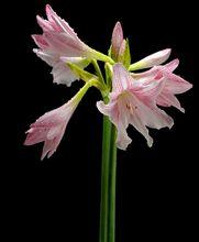 Amarylis - kwiat
