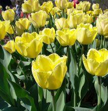 Tulipany strzępiaste