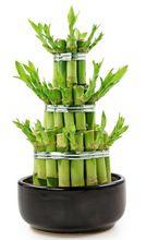 Lucky Bamboo - Dracena sanderiana
