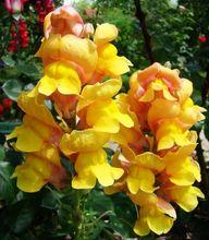 Lwia Paszcza - kwiaty