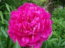 Piwonia (peonia)  - kwiat