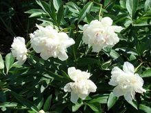 Piwonie (peonie) z białymi kwiatami