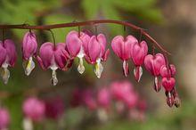 Serduszka - kwiaty