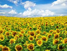 Słoneczniki - uprawa