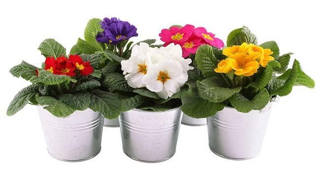 http://budujesz.info//pliki/image/artykuly/kwiaty-wiosenne/duze/pierwiosnki-prymulki-doniczkowe2009.jpg