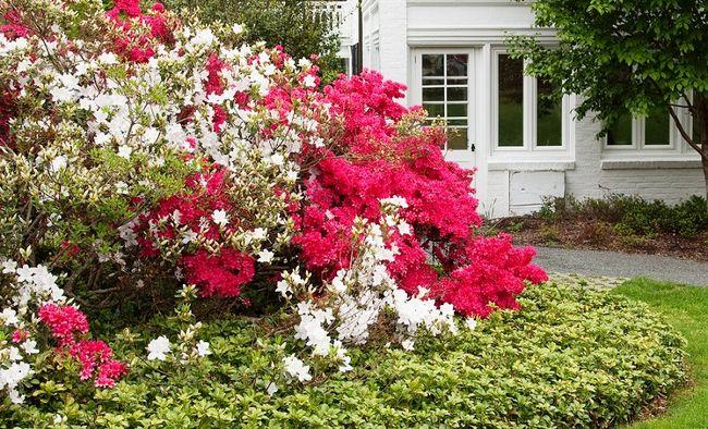 Runianka z kwitnącymi różanecznikami