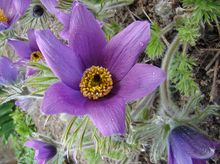 Sasanka - kwiat