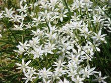 Śniedki - kwiaty