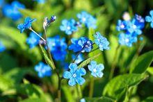 Ułudka - kwiat