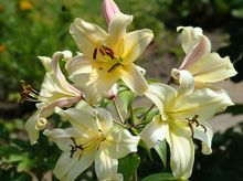 Lilia - kwiat