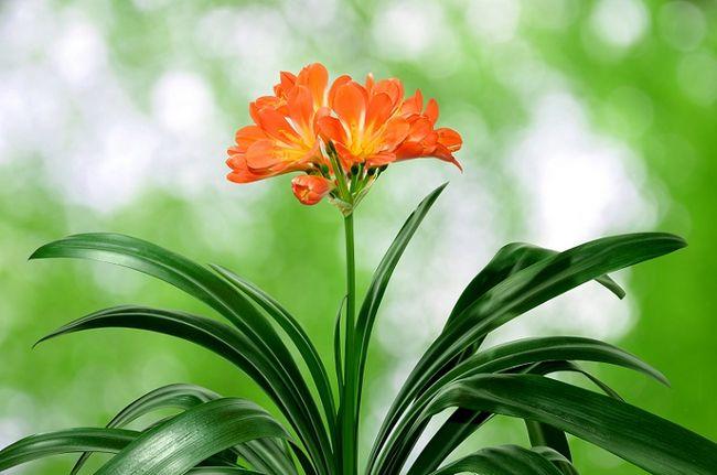 Kliwia pomarańczowa